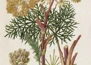 Planta mediterrânea pode ajudar a curar o câncer